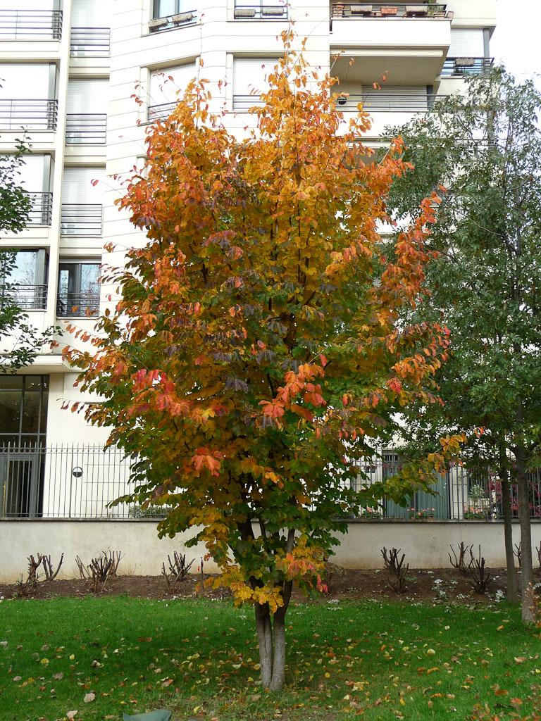 Arbre de fer (Parrotia persica) en automne dans le parc de Passy, Paris 16e (75)