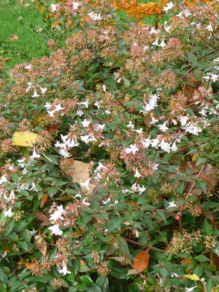 Abélia fleuri en automne dans le parc de Passy, Paris 16e (75)