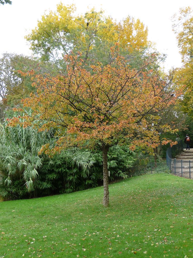 Poivrier du Japon (Zanthoxylum piperitum), Champs-de-Mars, Paris 7e (75)