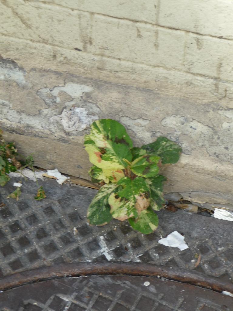 Semis spontané de renouée (Persicaria virginiana 'Painter's Palette') dans la rue sous mon balcon, Paris 19e (75)