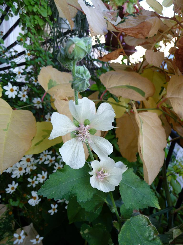 Alcathea suffrutescens 'Park Allée' sur mon balcon en été