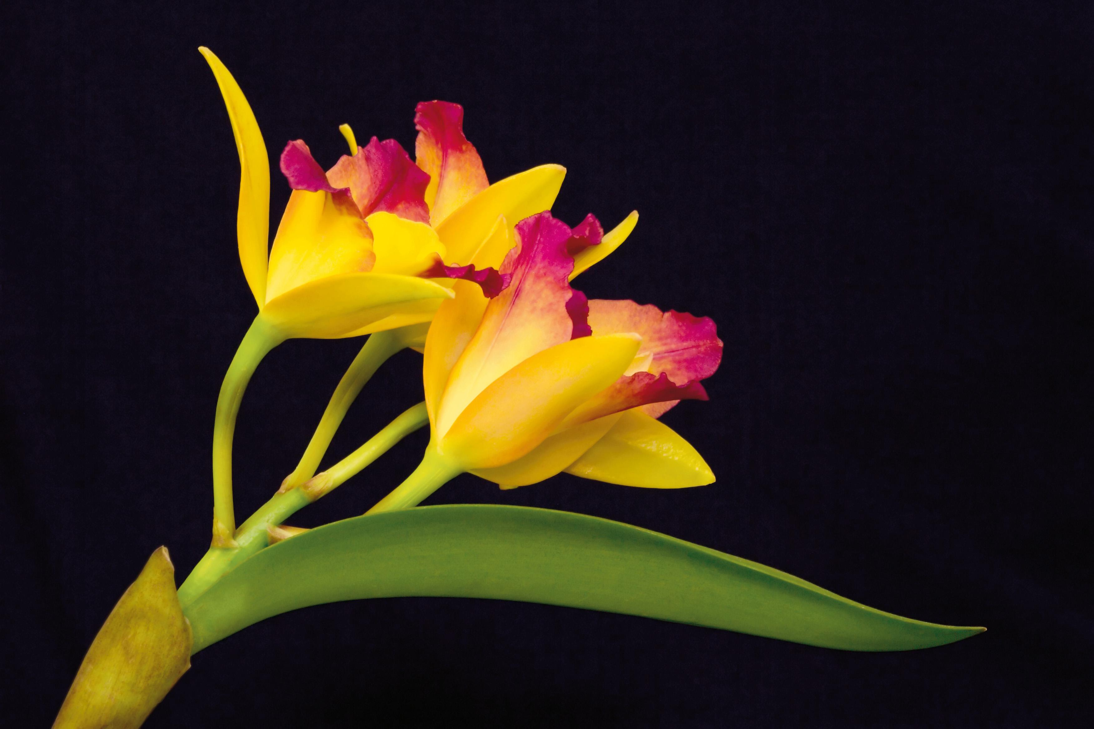 Cattleya jaune, orchidée vendue chez Truffaut, crédit photo Truffaut