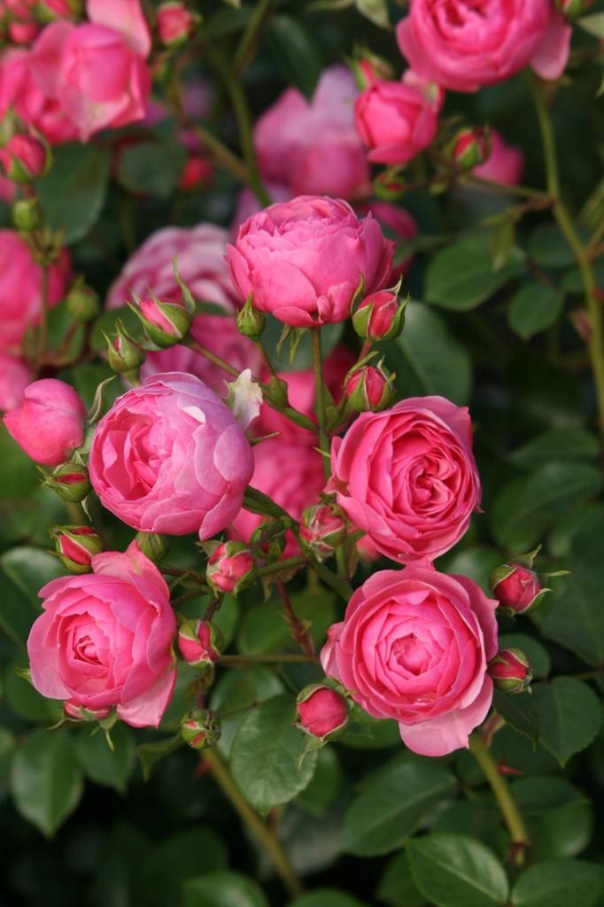 Rose Pomponella (Globe Planter)