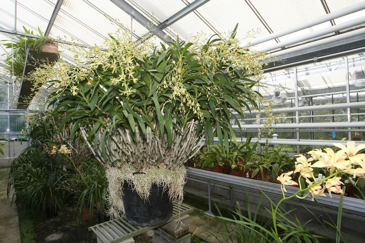 Orchidée botanique, collection du Jardin du Luxembourg