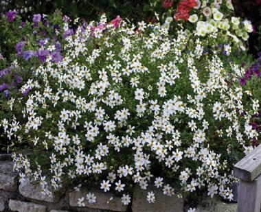 Bidens à fleurs blanches : Bidens ferulifolia 'Pirate's Pearl'