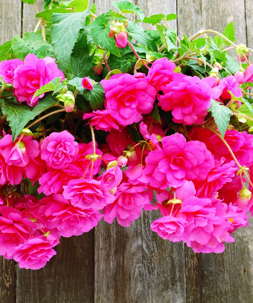 Begonia Fountain Pink, photo Jardin Express