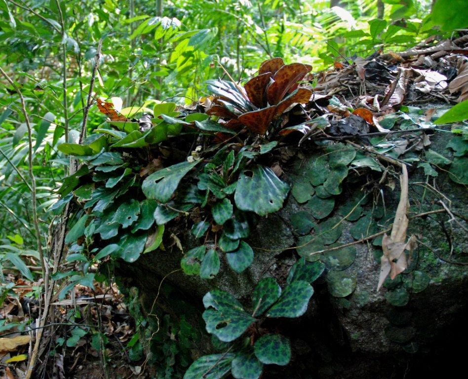 Begonia blancii avec une espèce de Pothos; Palawan (Philippines)
