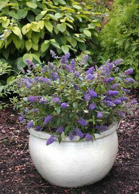 Buddleia davidii Lo & Behold 'Blue Chip' en pot, www.provenwinners.com
