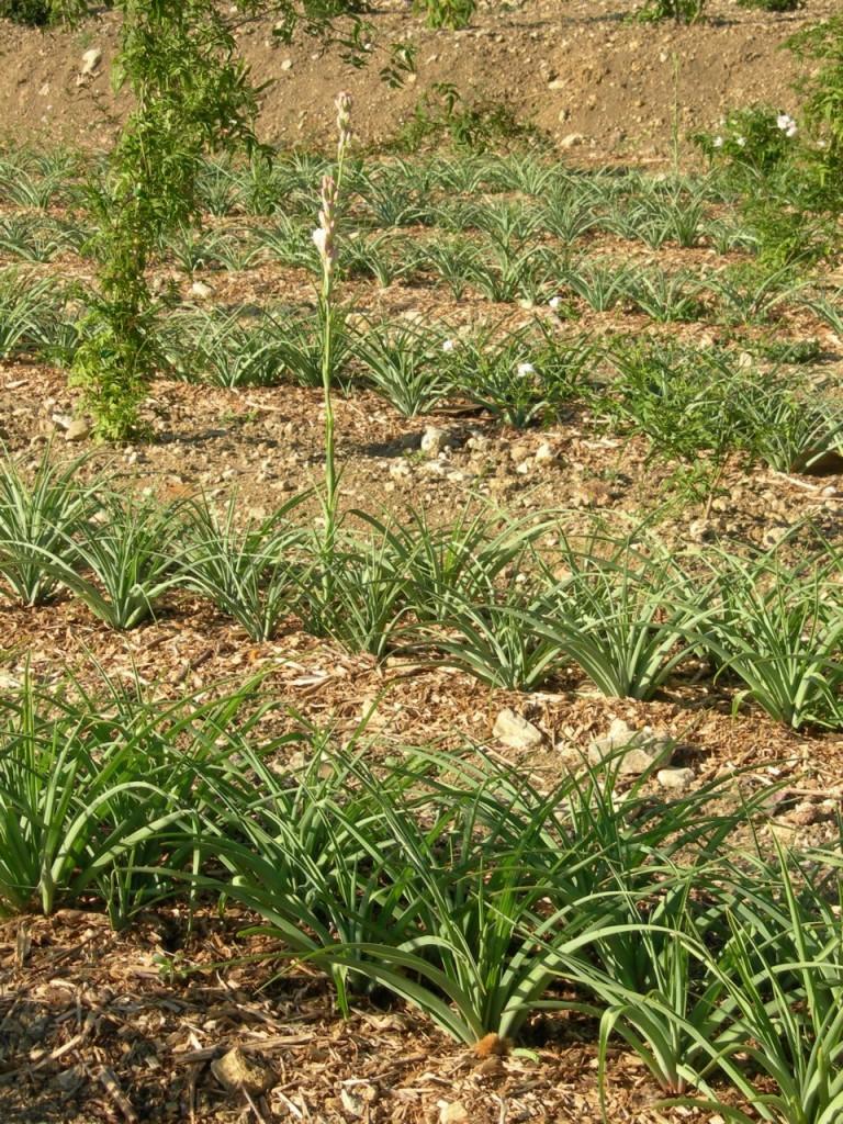 Plante bulbeuse parfumée : la tubéreuse