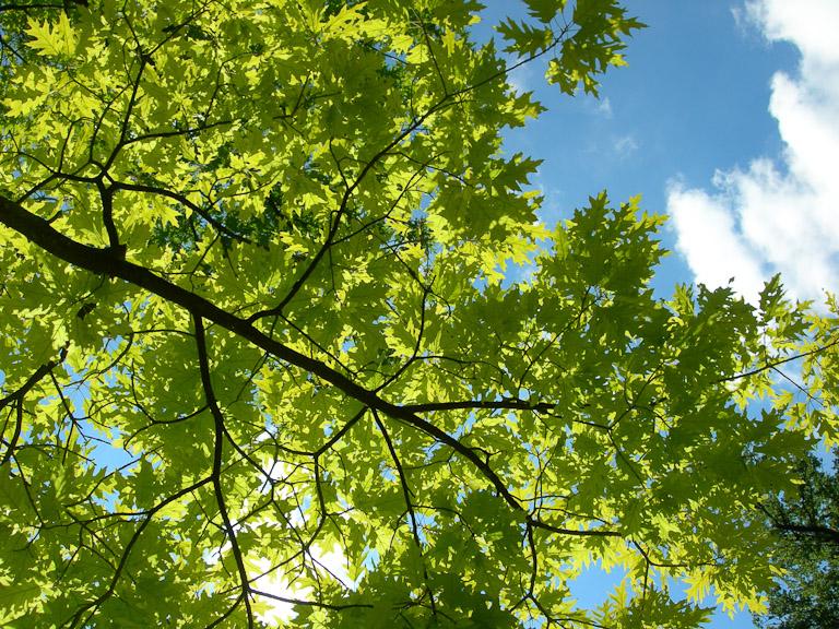 Vue du revers du feuillage d'un arbre avec le soleil, photo Alain Delavie