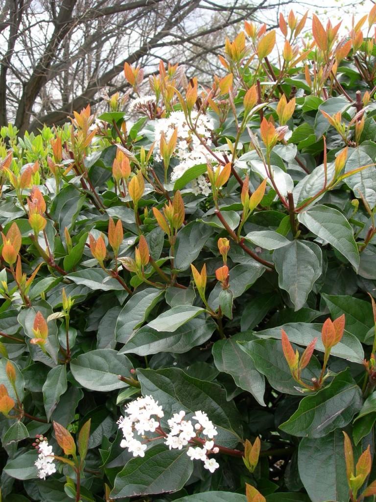 Viorne tin, Laurier-tin,Viburnum tinus