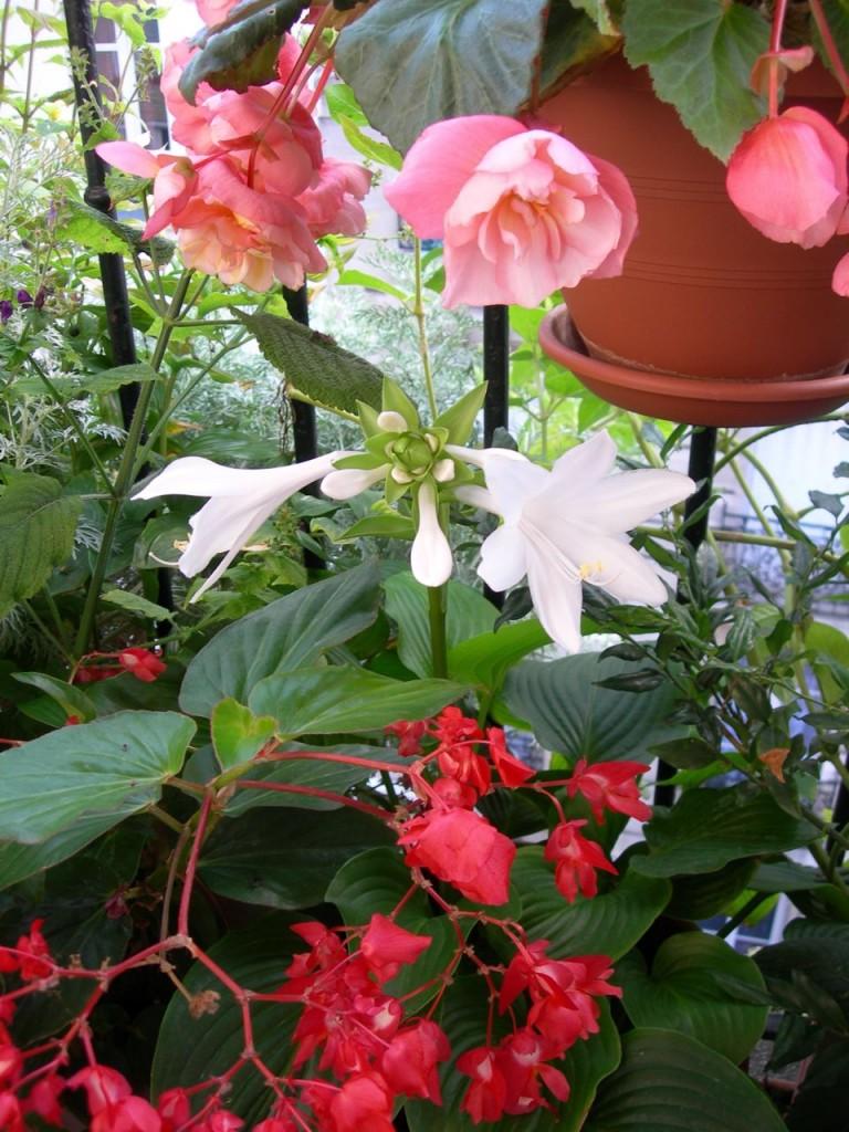 Balcon fleuri avec un bégonia Fragrance, un hosta plantain et un bégonia Dragon Wing