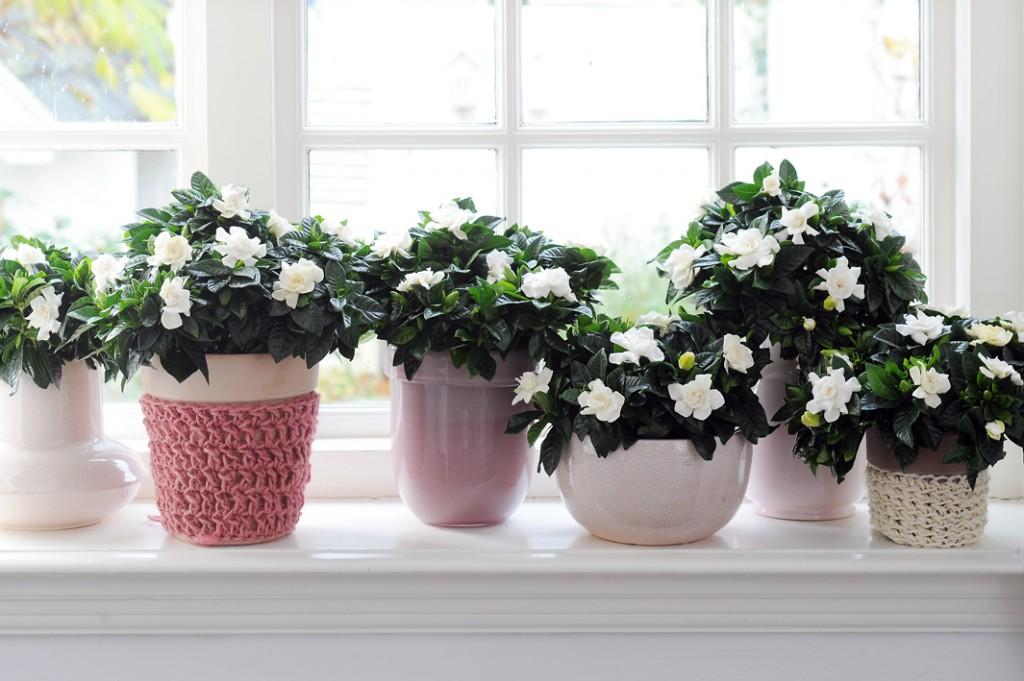 Plante d'intérieur à floraison parfumée : Gardenia jasminoïdes