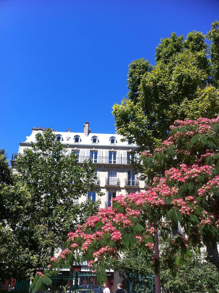 Arbre à soie (Albizia julibrissin) en pleine floraison dans le square Boucicaut, Paris 7e (75)