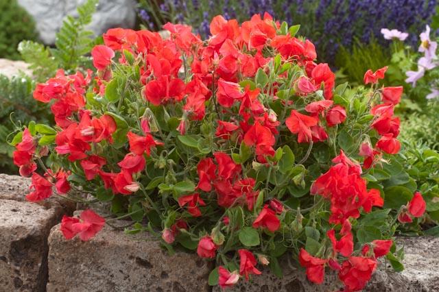 Pois de senteur nain à fleurs rouges : Lathyrus odoratus 'Villa Roma Scarlet'