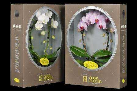 Phalaenopsis Mirror-Miracle, Opti-Flor (NL)