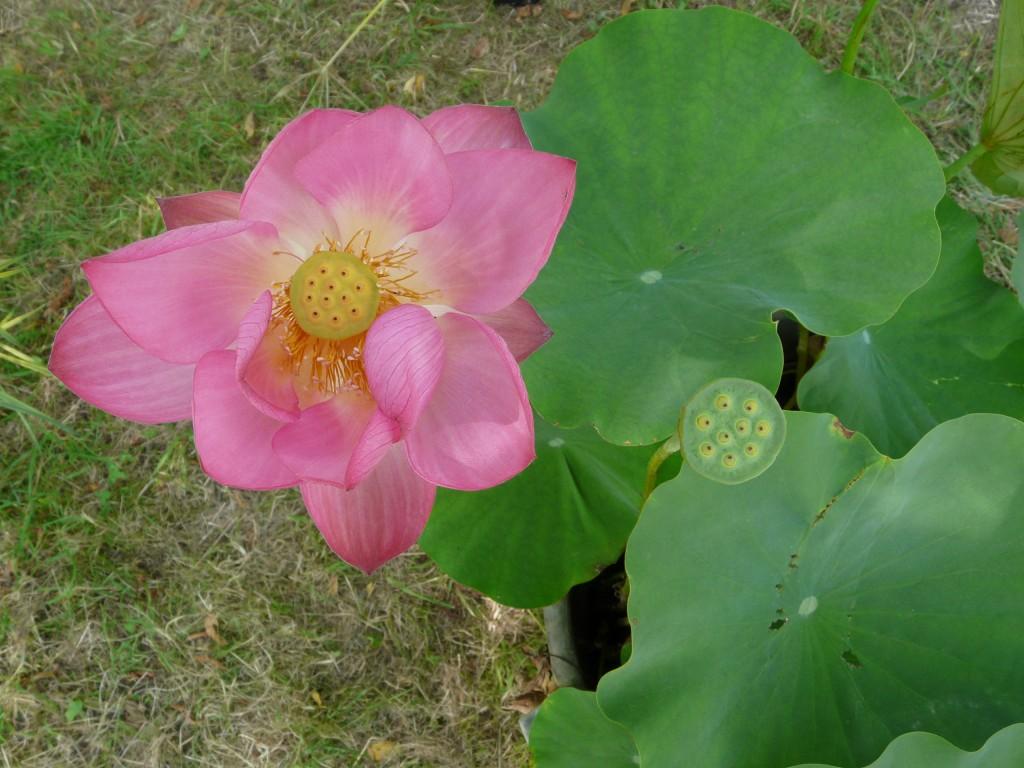 Nelumbo 'Hong Xia', Les Botaniques de Chèvreloup 2011, Arboretum de Chèvreloup