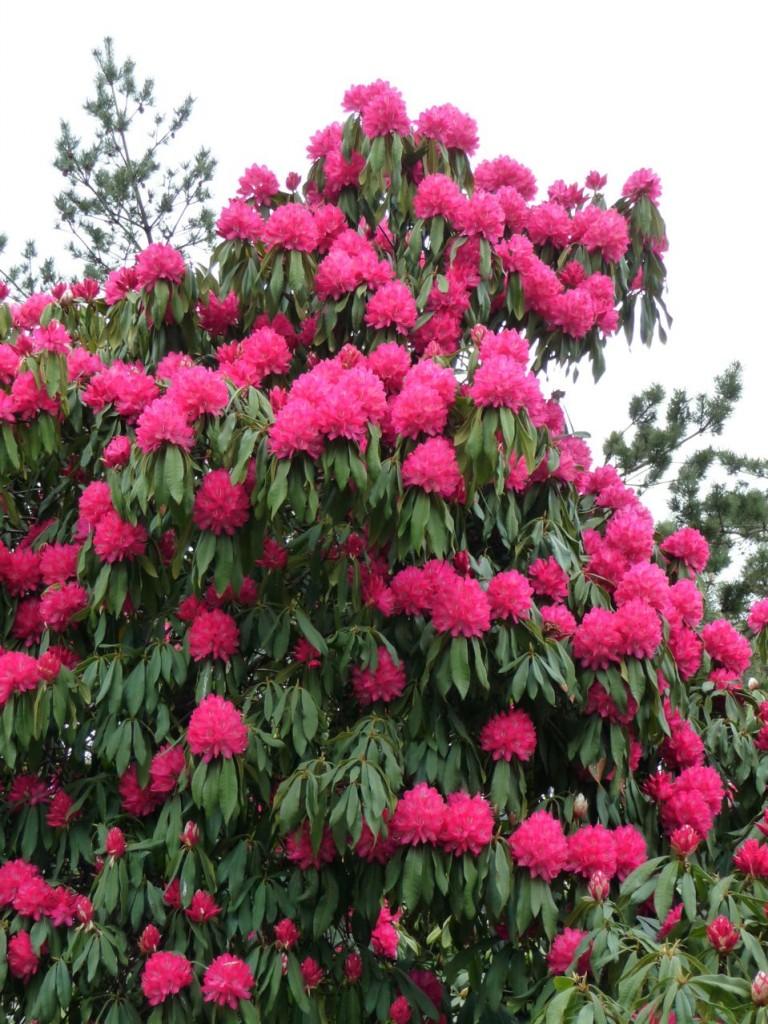 Rhododendron hybride à grand développement