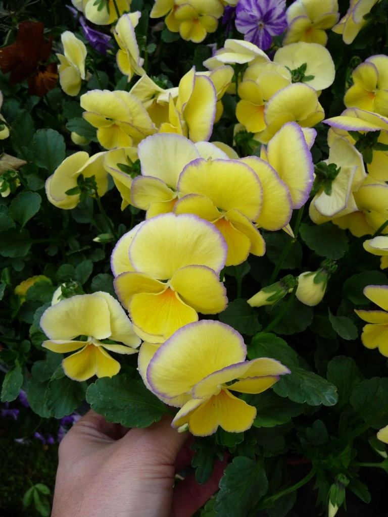 Fleur bisannuelle : violette cornue