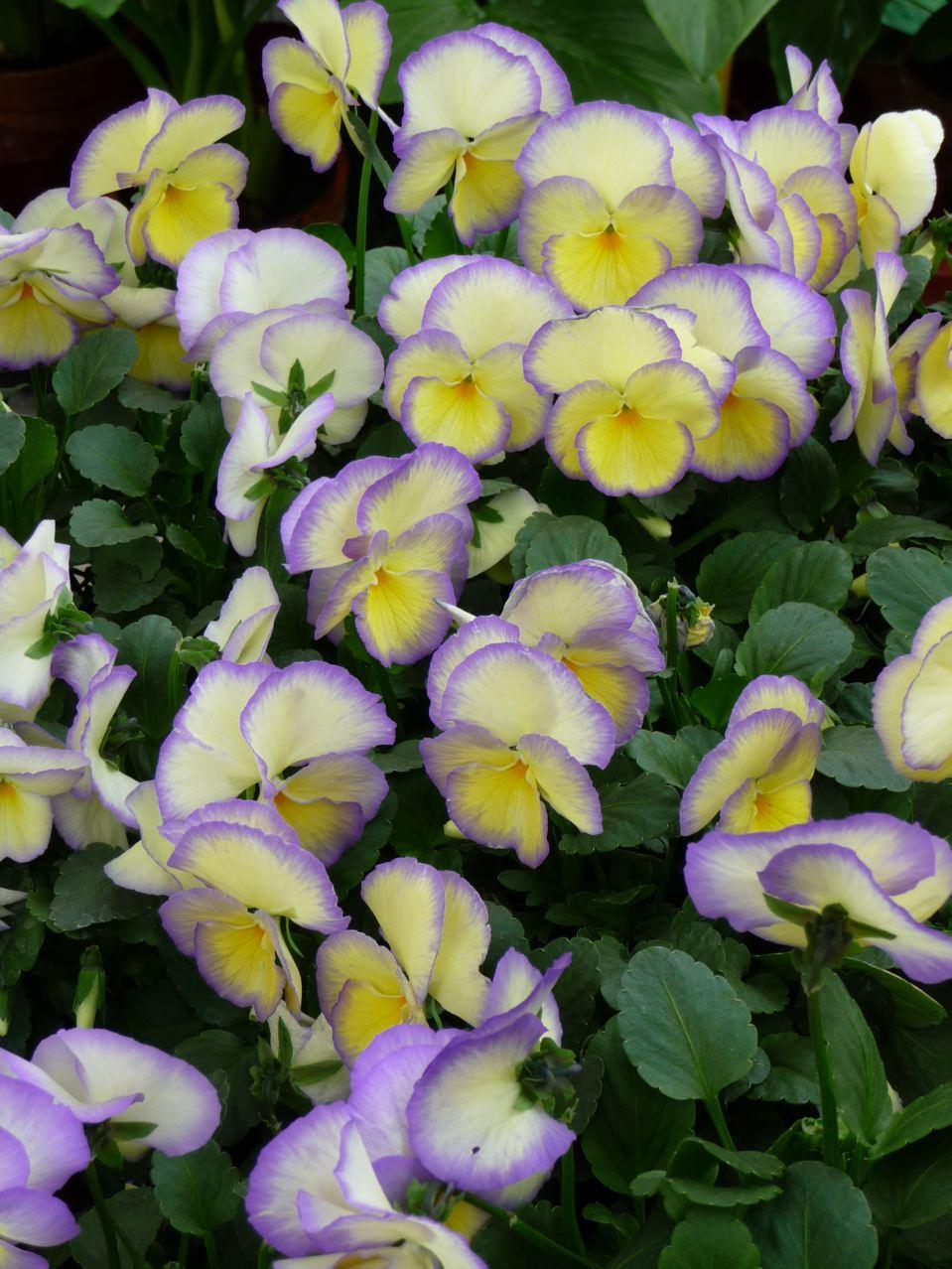 Fleur bisannuelle