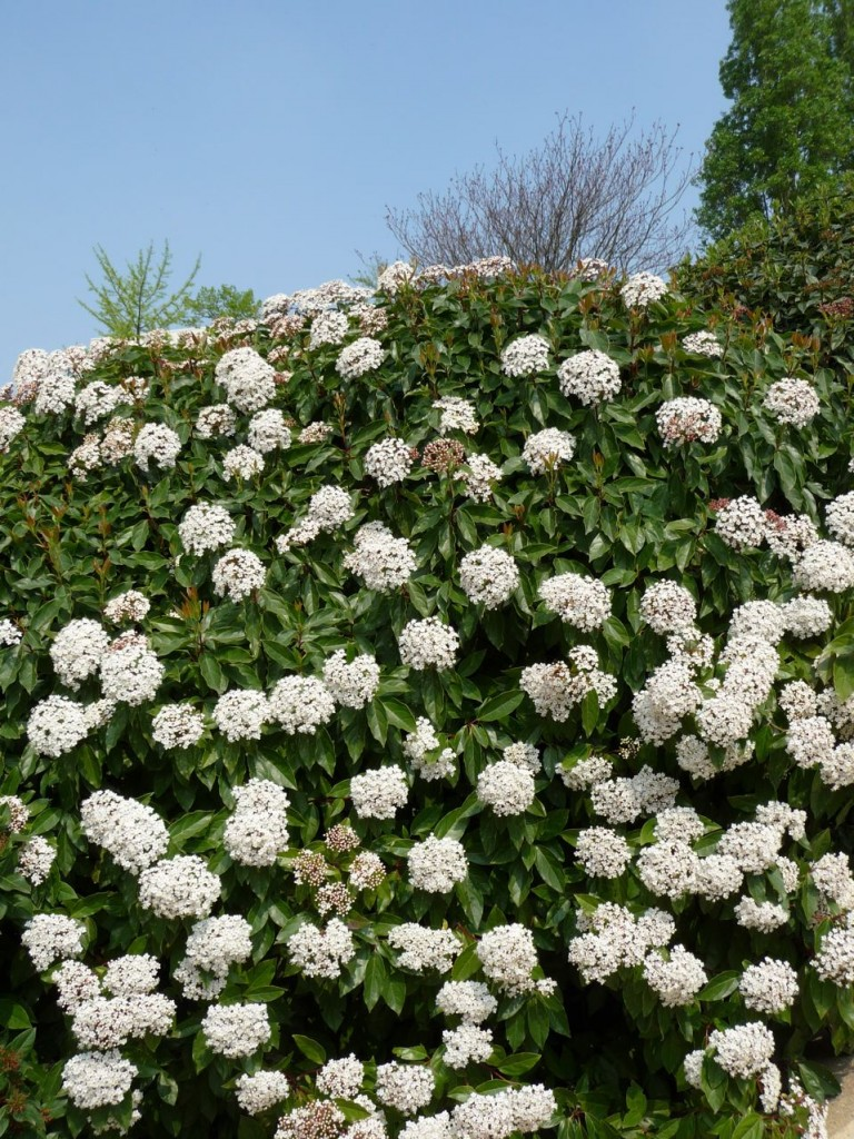 Viorne tin, Laurier-tin, Viburnum tinus