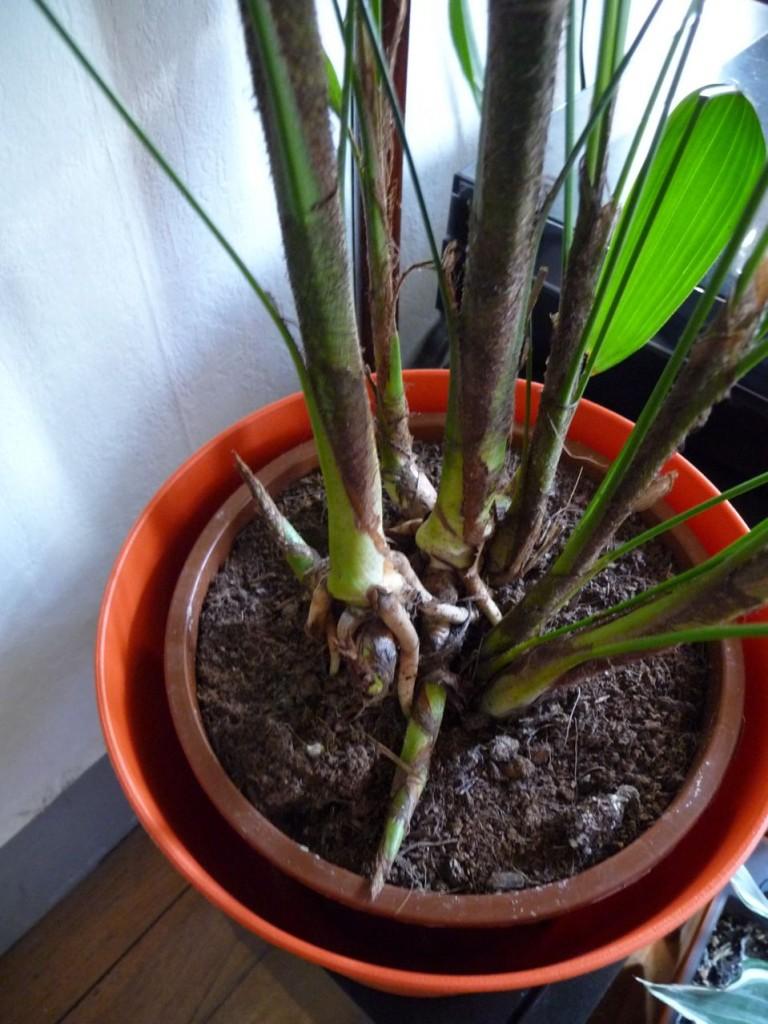 Les signes qui montrent qu'une plante d'intérieur doit être rempotée