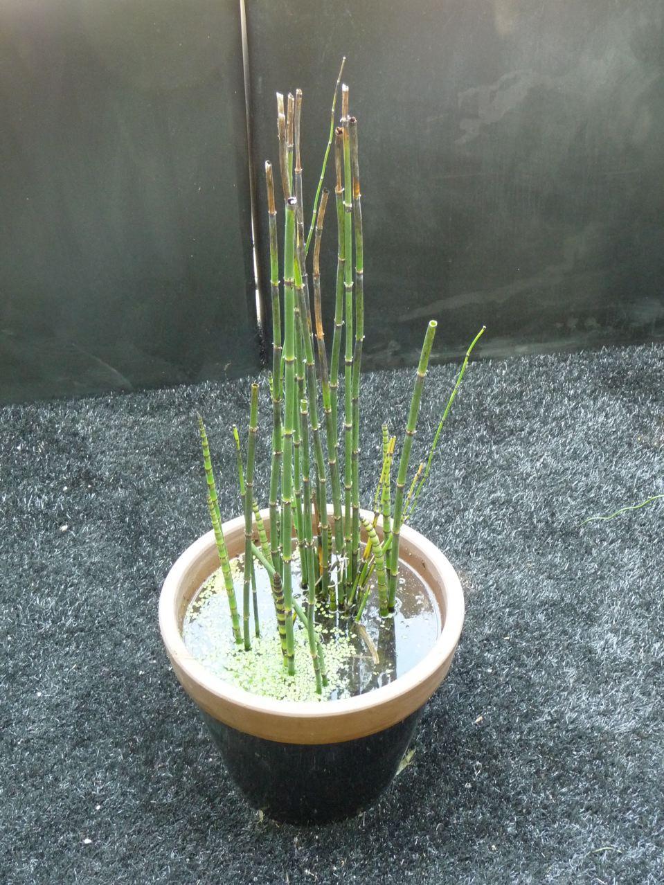 Mini bassin avec un pied de prêle du Japon et des lentilles d'eau, Salon Jardins Jardin 2009, photo Alain Delavie