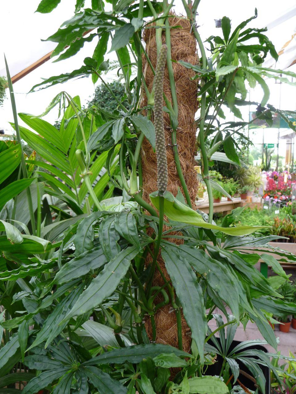 Plante verte d'intérieur grimpante