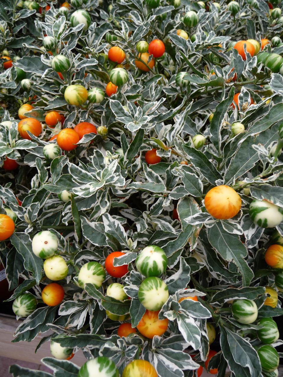 Arbuste à fruits et feuillage décoratifs