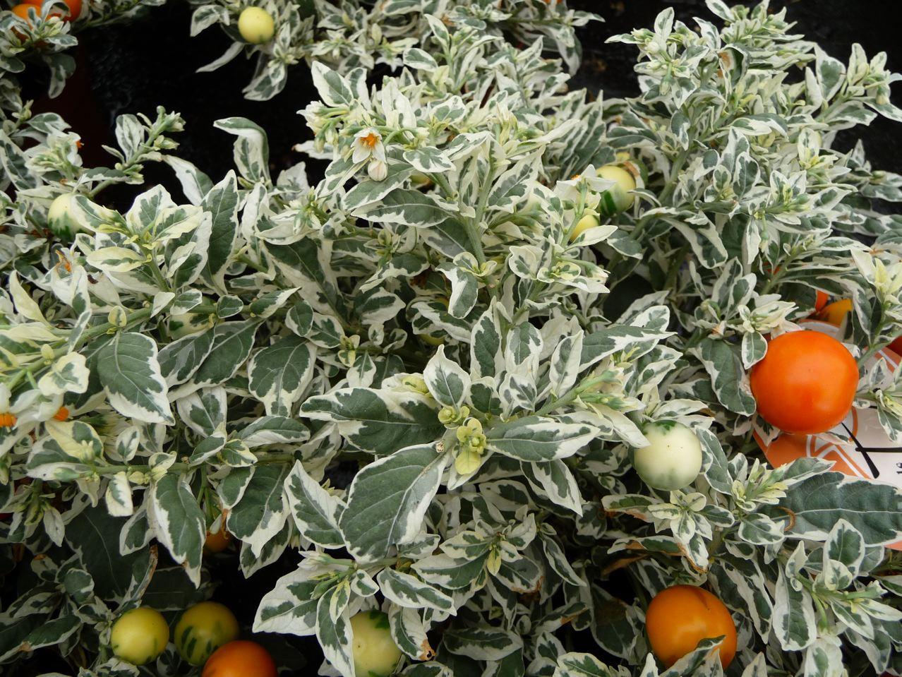 Arbuste à feuillage et fruits décoratifs