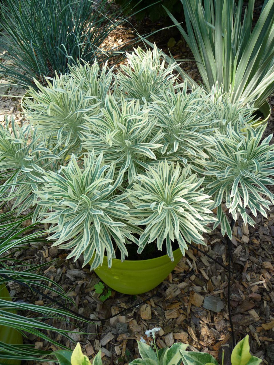 Plante vivace à feuillage persistant décoratif
