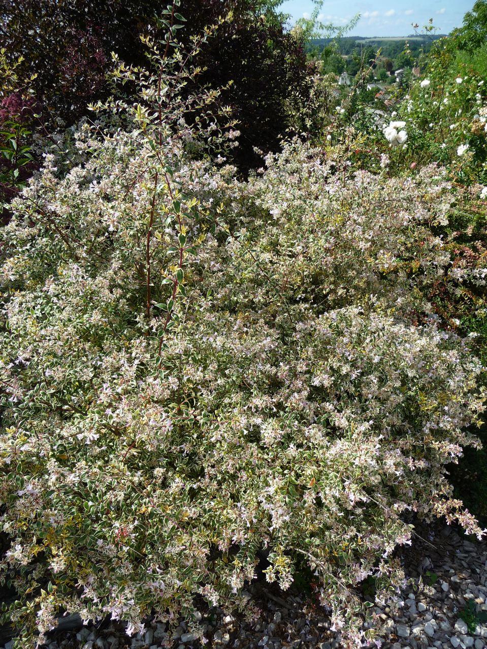 Arbuste à feuillage panaché et floraison estivale