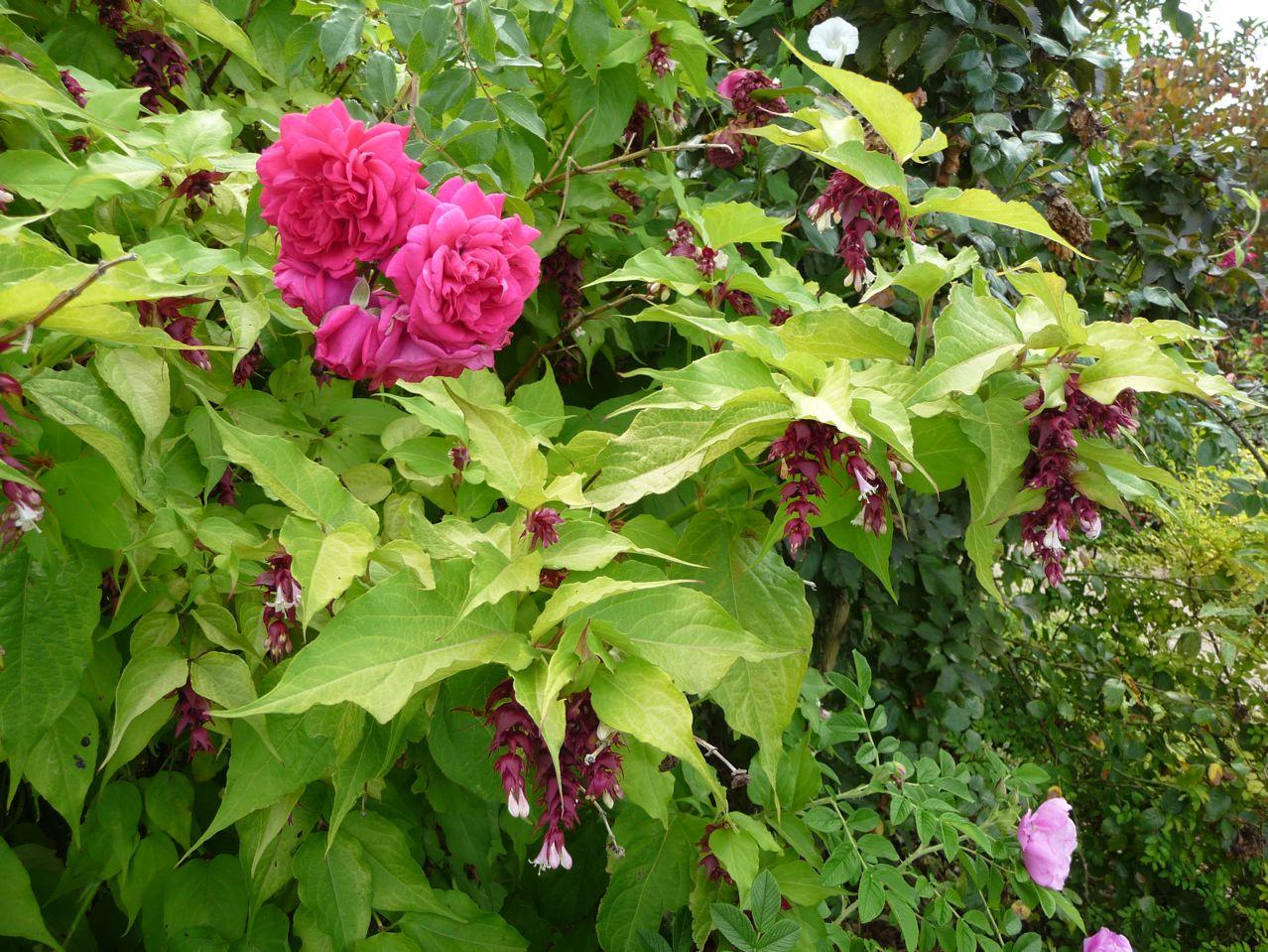 Arbuste à floraison estivale et feuillage décoratif