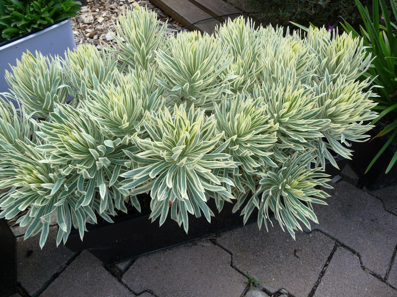 Plante vivace à feuillage persistant panaché