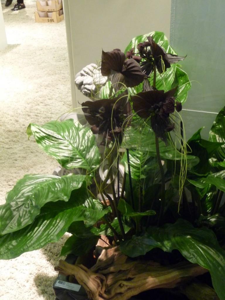 Tacca chantrieri, la plante chauve-souris