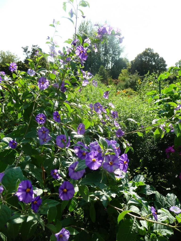 Arbuste exotique à floraison estivale