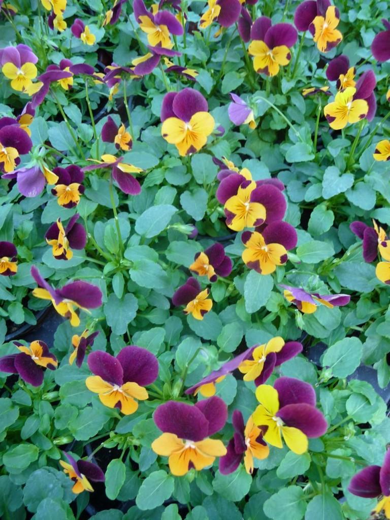 Fleur bisannnuelle : violette cornue