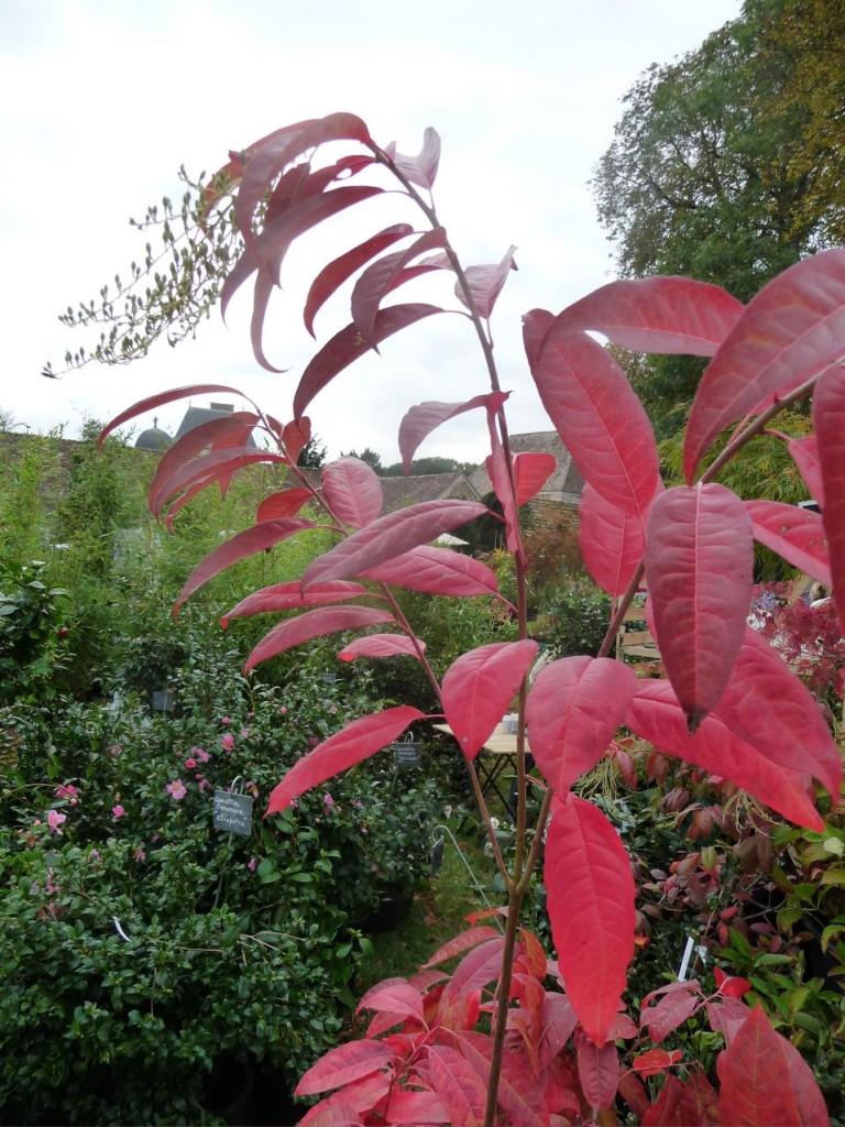Oxydendron arboreum, coloris d'automne, Journées des Plantes de Courson (91), photo Alain Delavie