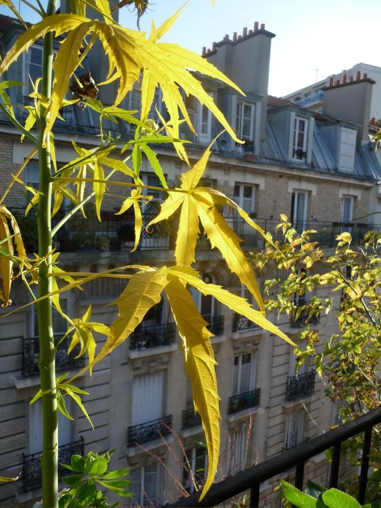 Feuilles dorées d'Hibiscus coccineus 'Alba', sous le soleil, octobre 2009, photo Alain Delavie