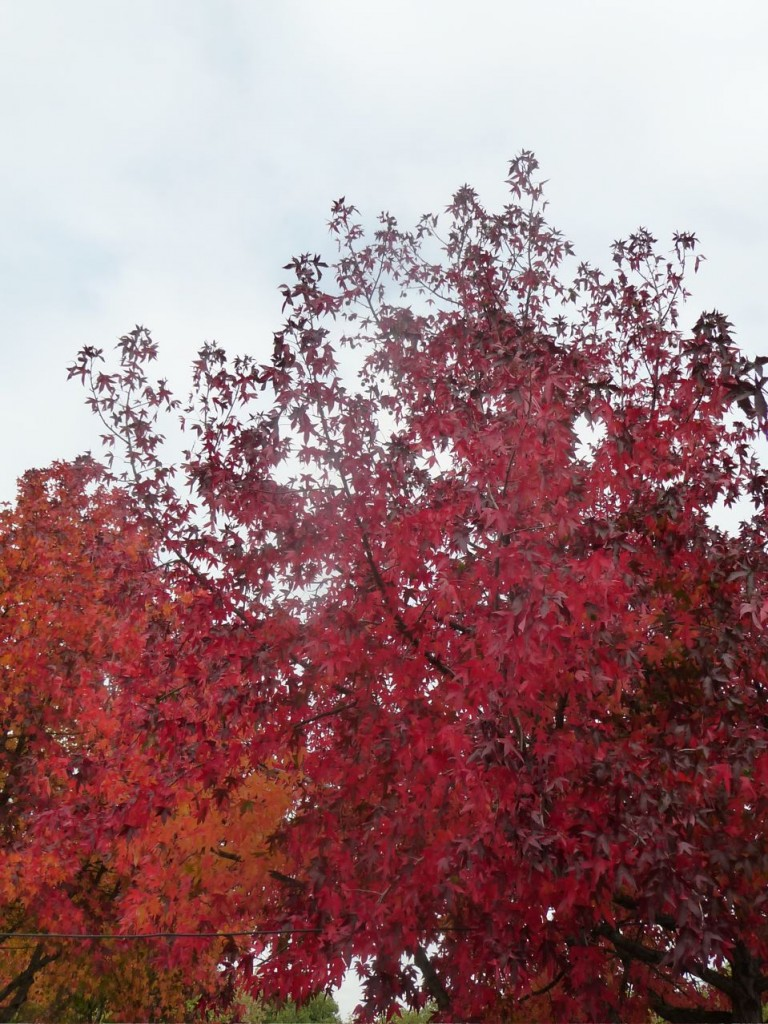 Érable au feuillage d'automne, parc de la Villette, photo Alain Delavie