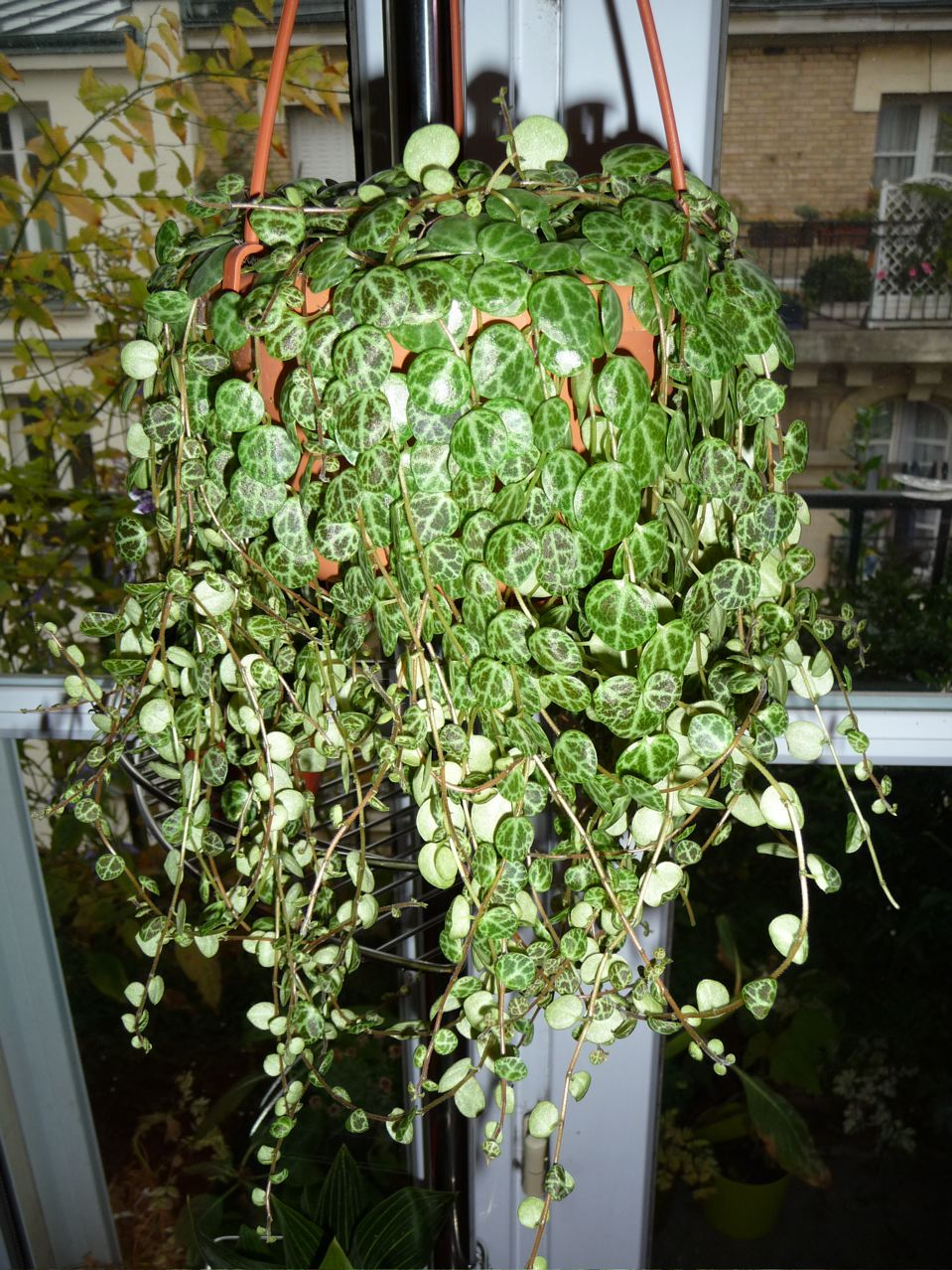 Peperomia prostrata (= P. verdeliana), photo Alain Delavie