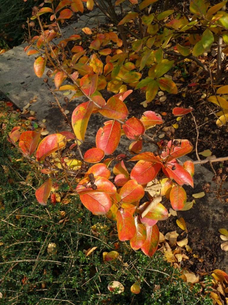 Feuillage d'automne du lilas des Indes, photo Alain Delavie