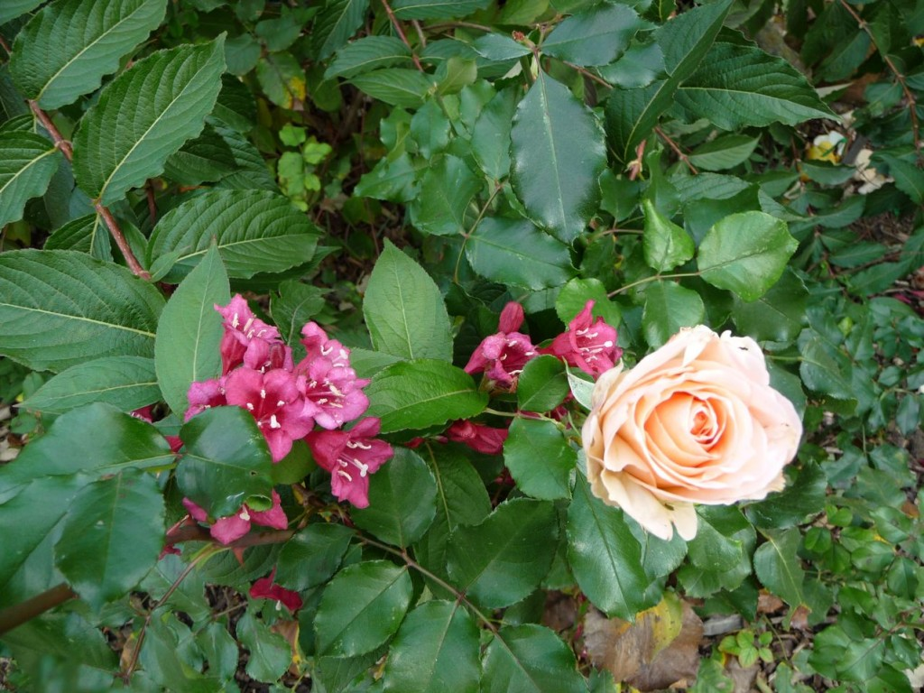 Fleurs de weigélia et rose, jardin du port de l'arsenal (Paris, 75), photo Alain Delavie