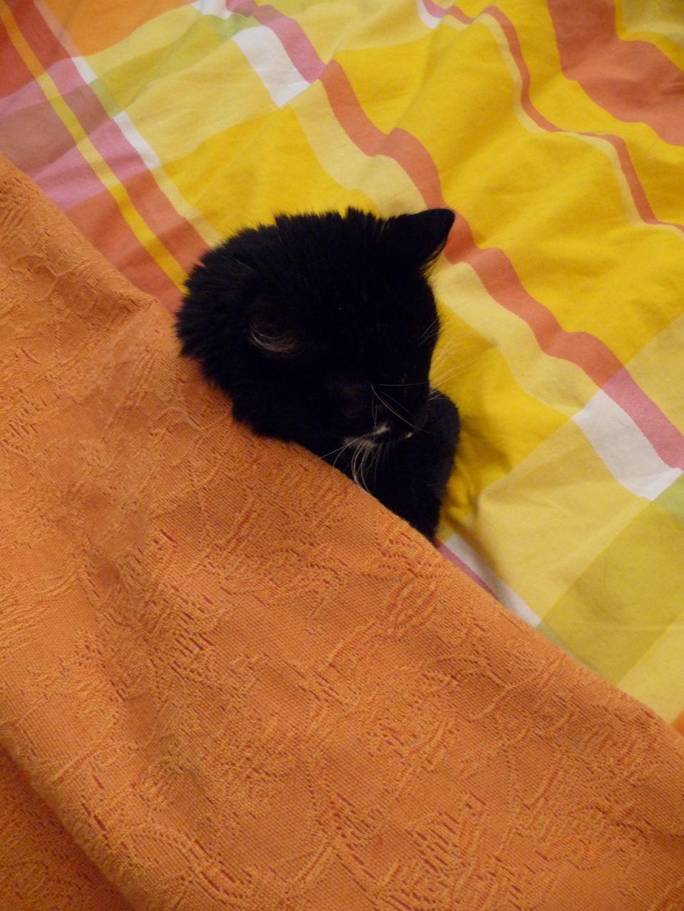 Iris la chatte enfilée sous le dessus de lit et couché sur la couette, photo Alain Delavie
