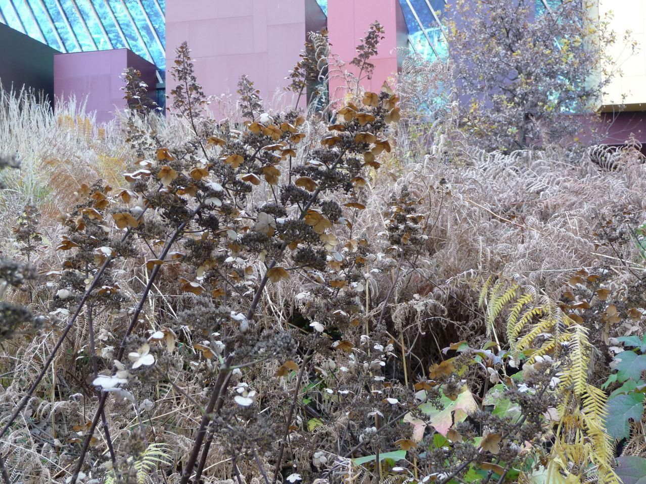 Panicules de fleurs séchées d'un hydrangéa paniculé (Hydrangea paniculata), jardin du Musée du quai Branly (Paris 7ème), décembre 2009, photo Alain Delavie