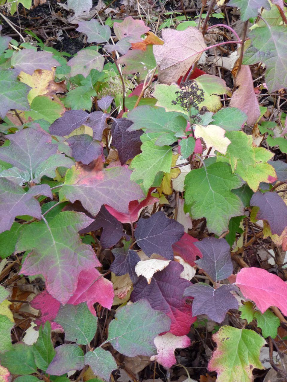 Hydrangéa à feuilles de chênes parés de couleurs d'automne, Musée du quai Branly (Paris 7ème), décembre 2009, photo Alain Delavie