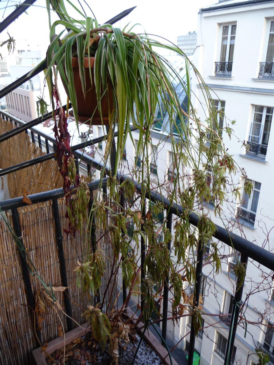 Suspension de phalangère gelée sur mon balcon, décembre 2009, photo Alain Delavie