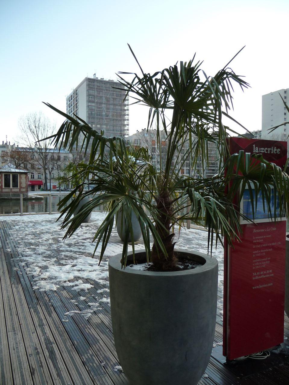 Grosse potée de palmier par temps de gel et de neige, Bassin de la Villette, Paris 19ème, photo Alain Delavie