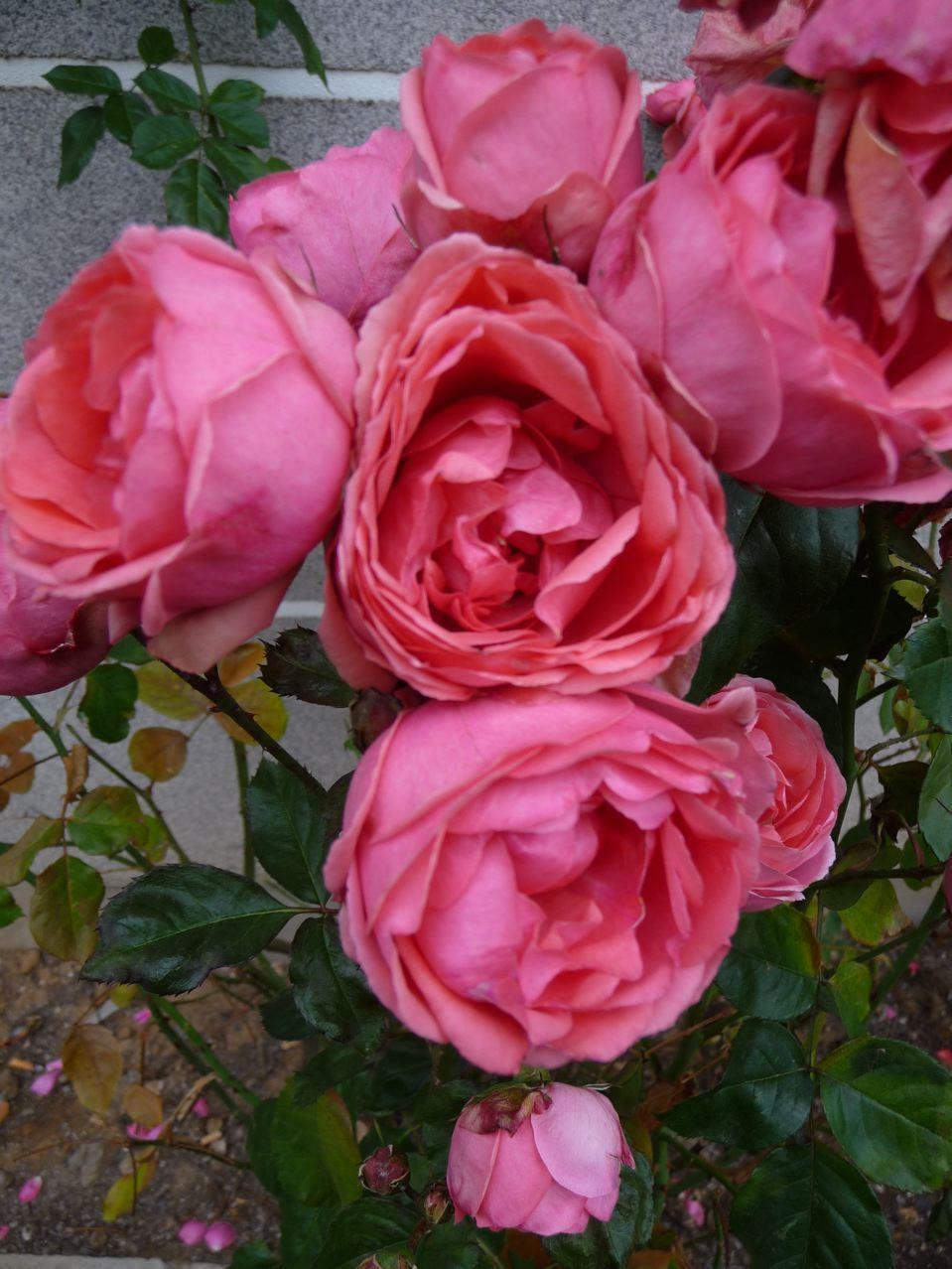 Roses photographiées fin décembre 2009, photo Alain Delavie