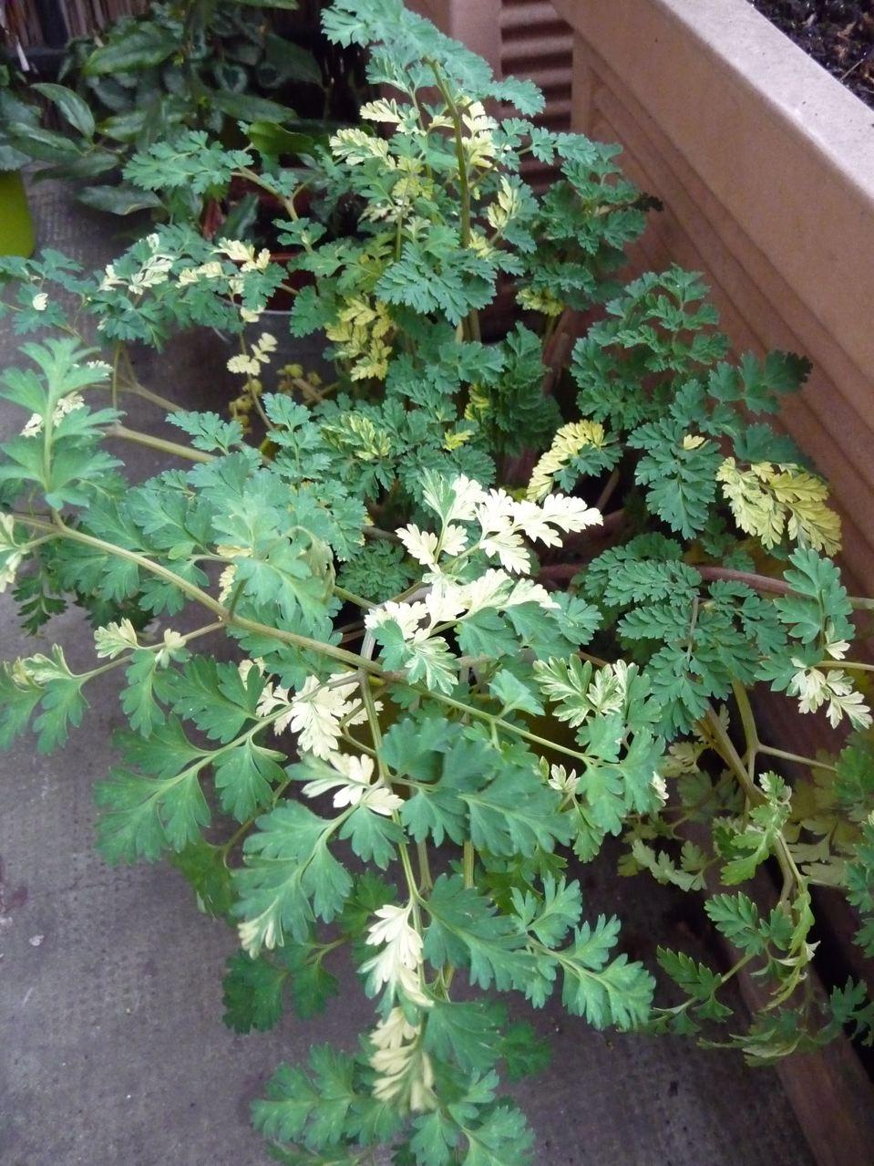Corydalis 'Maya' : un feuillage panaché et persistant